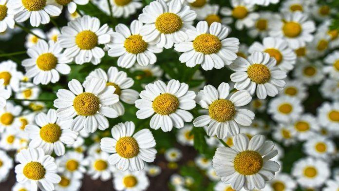 Tumbuhan Herbal Untuk Asam Lambung Sebagai Obat Alami